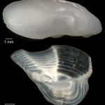 Altersbestimmung bei Fischen – Otolithen