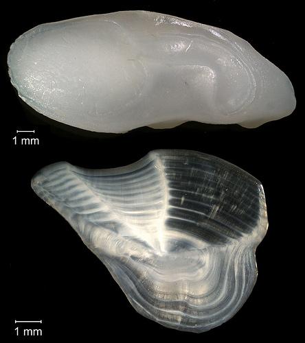 Altersbestimmung bei Fischen - Otolithen