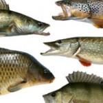 Laichzeiten der deutschen Süßwasserfische