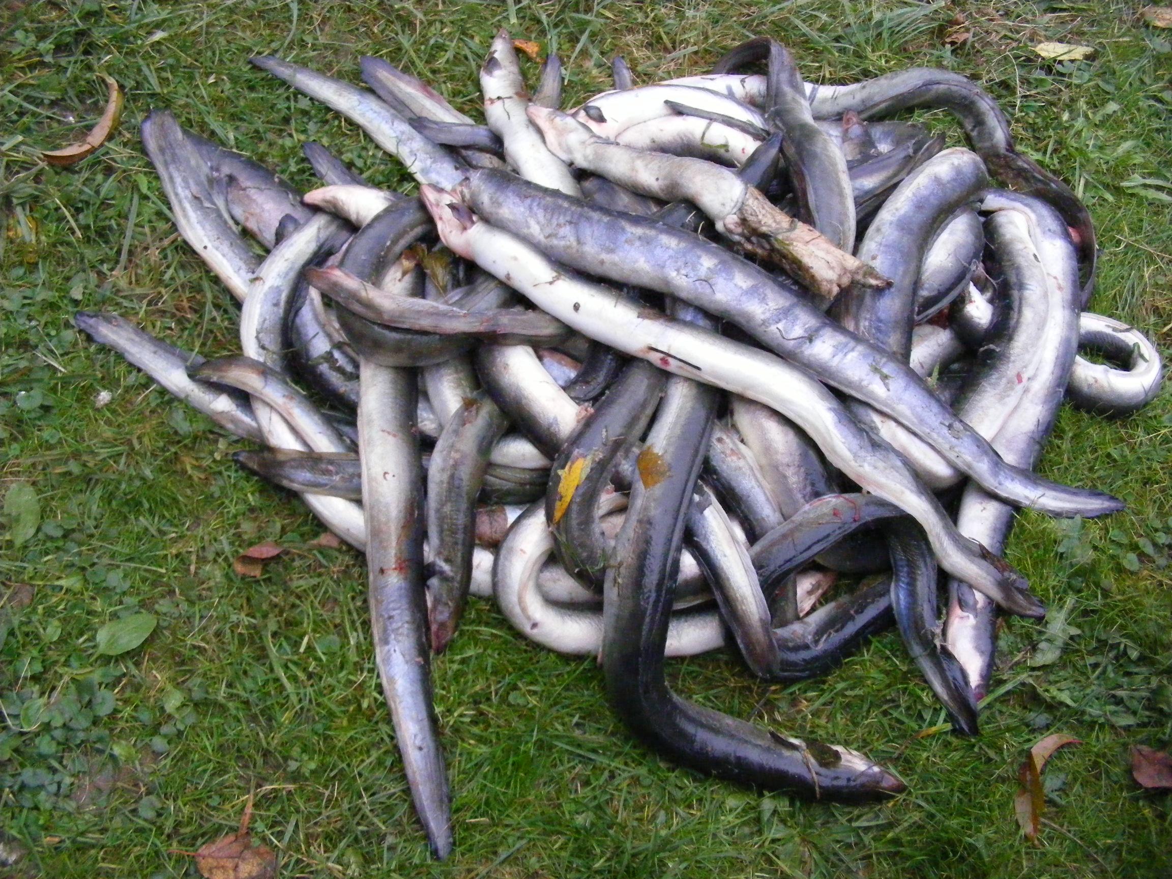 Wasserkraftwerke töten Aale