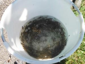 Kleinfisch-Zugnetz - Brutfische