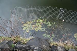 Wasserpflanzen ansiedeln