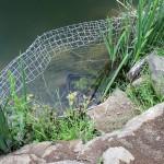 Wasserpflanzen in Teichen ansiedeln