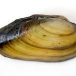 Einheimische Muscheln bestimmen